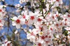Bloeiend is lente. Stock Foto
