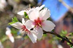 Bloeiend is lente. Stock Foto's
