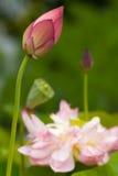 Bloeiend Lotus Royalty-vrije Stock Afbeeldingen