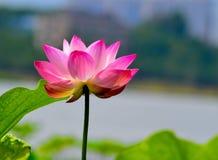 Bloeiend Lotus Stock Foto
