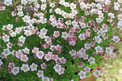 Bloeiend mos vele heldere bloemen Royalty-vrije Stock Afbeeldingen