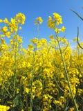Bloeiend oliezaad op geel canolagebied stock foto