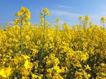 Bloeiend oliezaad op geel canolagebied stock fotografie