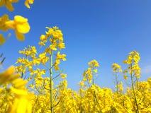 Bloeiend oliezaad op geel canolagebied royalty-vrije stock foto's