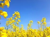 Bloeiend oliezaad op geel canolagebied royalty-vrije stock fotografie