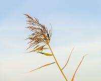 Bloeiend riet tegen een blauwe hemel Royalty-vrije Stock Fotografie