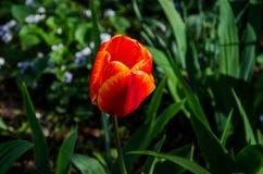 Bloeiend, rode tulp voor achtergrond Close-up stock foto's