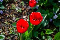 Bloeiend, rode tulpen voor achtergrond Close-up royalty-vrije stock foto