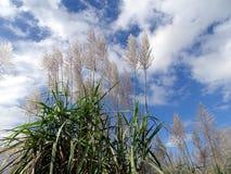 Bloeiend Sugar Cane Royalty-vrije Stock Foto's