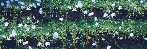 Bloeiend vlas Een gebied met voren Het concept milieuvriendelijke landbouw stock fotografie