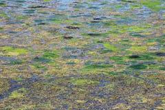 Bloeiend water in de vijver in de zomer Stock Afbeeldingen