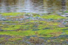 Bloeiend water in de vijver in de zomer Stock Foto