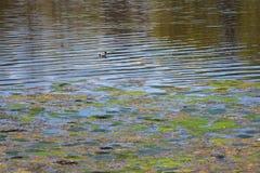 Bloeiend water in de vijver in de zomer Stock Fotografie