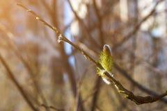 Bloeiend wilgenkatje met stuifmeel Voor allergieconcept stock fotografie