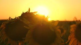 Bloeiend zonnebloemgebied in de stralen van een mooie zonsondergang Close-up ecologisch schoon gewas van zonnebloem landbouw stock videobeelden