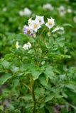 Bloeiende aardappelplant Royalty-vrije Stock Foto