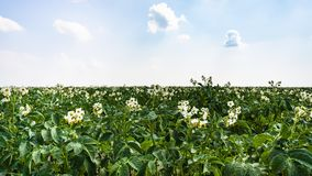 bloeiende aardappelplant op gebied in Frankrijk Stock Foto's