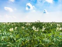 bloeiende aardappelplant op gebied in Frankrijk Royalty-vrije Stock Foto's