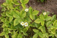 Bloeiende aardbeien in de lente stock foto