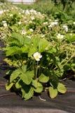 Bloeiende aardbeieninstallaties die in het bed in de landbouwerstuin groeien Stock Fotografie
