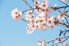 Bloeiende abrikoos Stock Fotografie