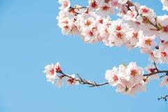 Bloeiende abrikoos Royalty-vrije Stock Foto