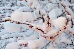 Bloeiende abrikoos Royalty-vrije Stock Afbeelding