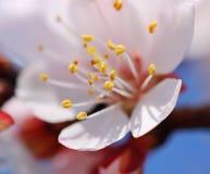 Bloeiende abrikoos in de lente royalty-vrije stock afbeelding