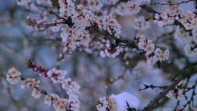 Bloeiende abrikoos in de sneeuw in April stock videobeelden