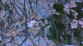 Bloeiende abrikoos in de sneeuw in April stock footage