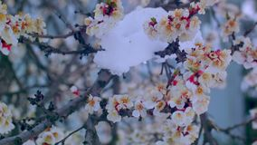 Bloeiende abrikoos in de sneeuw in April stock video