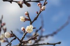 Bloeiende abrikoos in de tuin in de lente Stock Afbeeldingen