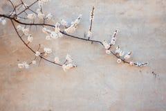 Bloeiende abrikoos en concrete muur royalty-vrije stock afbeeldingen