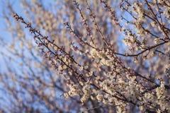 Bloeiende abrikozen tegen een heldere blauwe de lentehemel Stock Afbeelding