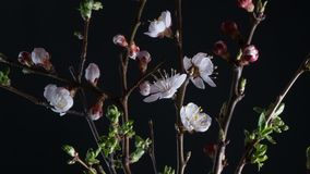 Bloeiende abrikozenbloemen stock videobeelden