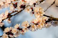 Bloeiende abrikozenbloemen in de lente Stock Foto's