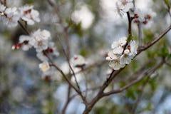 Bloeiende abrikozenbomen Stock Afbeelding