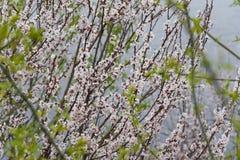 Bloeiende abrikozenbomen Royalty-vrije Stock Afbeelding