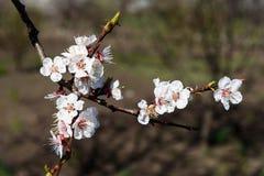Bloeiende abrikozenbomen Stock Fotografie