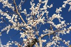 Bloeiende abrikozenbomen Royalty-vrije Stock Afbeeldingen