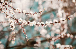 Bloeiende abrikozenboom Stock Afbeelding