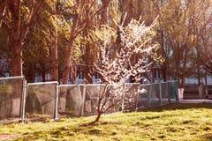 Bloeiende abrikozenboom stock fotografie