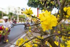 Bloeiende abrikozenboom, Nieuwjaarsymbool in Vietnam Royalty-vrije Stock Fotografie