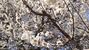 Bloeiende abrikozenboom op blauwe hemelachtergrond stock video