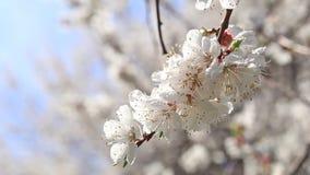 Bloeiende abrikozenboom op blauwe hemelachtergrond stock videobeelden