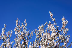 Bloeiende abrikozenboom op een blauwe hemel, bloemenontwerp Stock Afbeelding