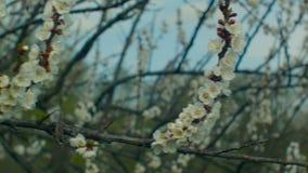 Bloeiende abrikozentak stock video