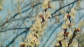 Bloeiende abrikozentak stock footage