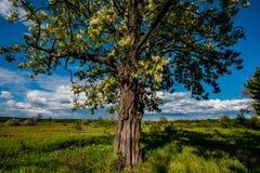 Bloeiende acaciaboom in een weide, plattelandsgebied royalty-vrije stock foto's
