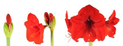 Bloeiende Amaryllis stock afbeeldingen